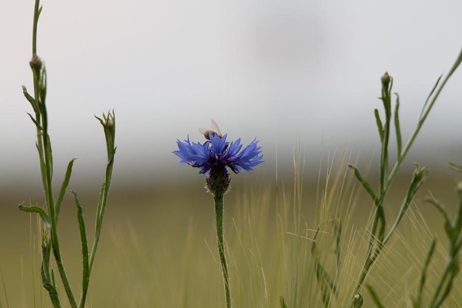 Eine Kornblume in Nahaufnahme